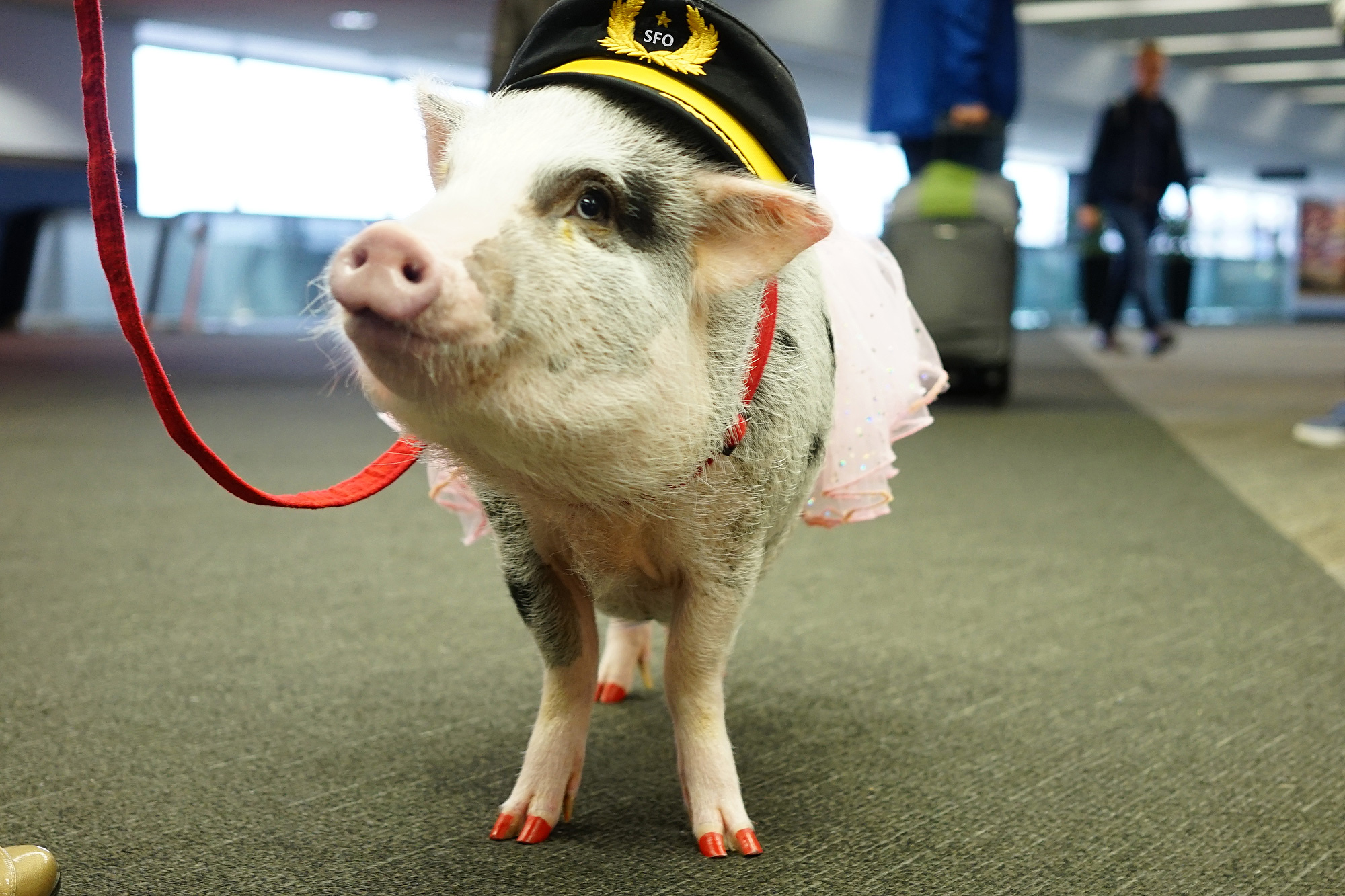Airport Therapy Pig