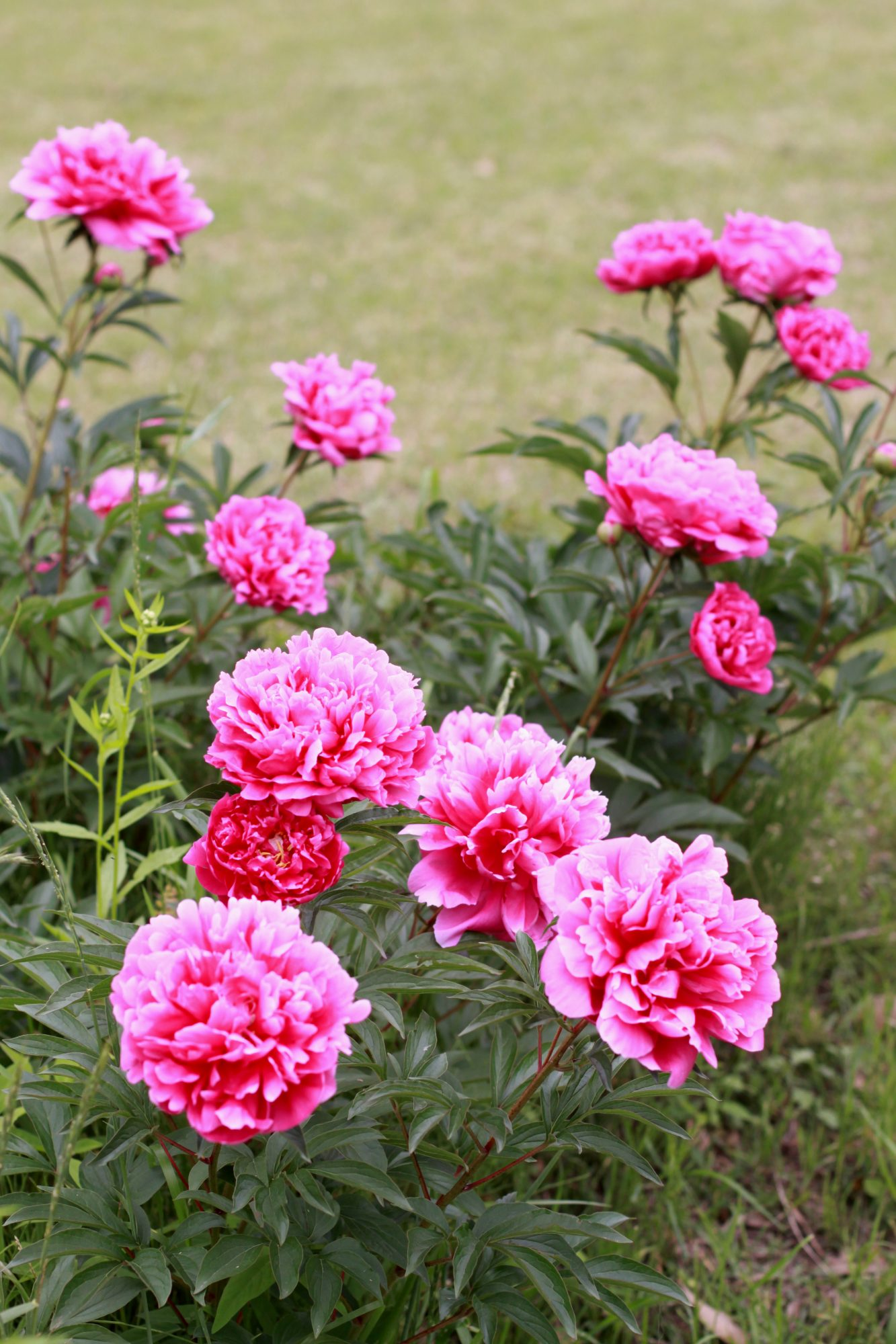 One type of peony is especially suited for the Southern climates
