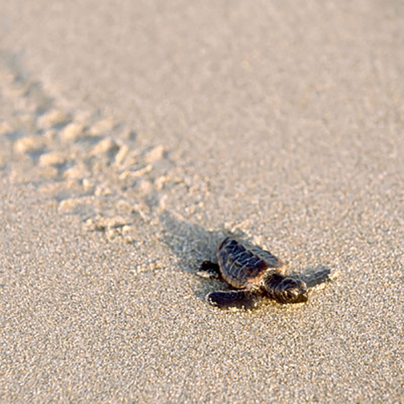 Baby Sea Turtle Crawling Through Sand