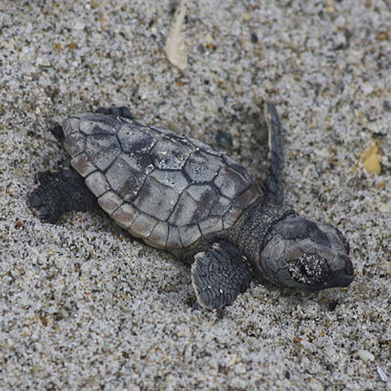 Sea Turtle Planted in Sand