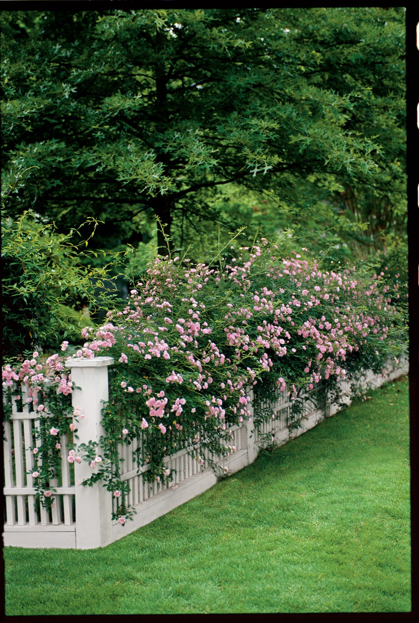 Easy Growing: Climbing Roses