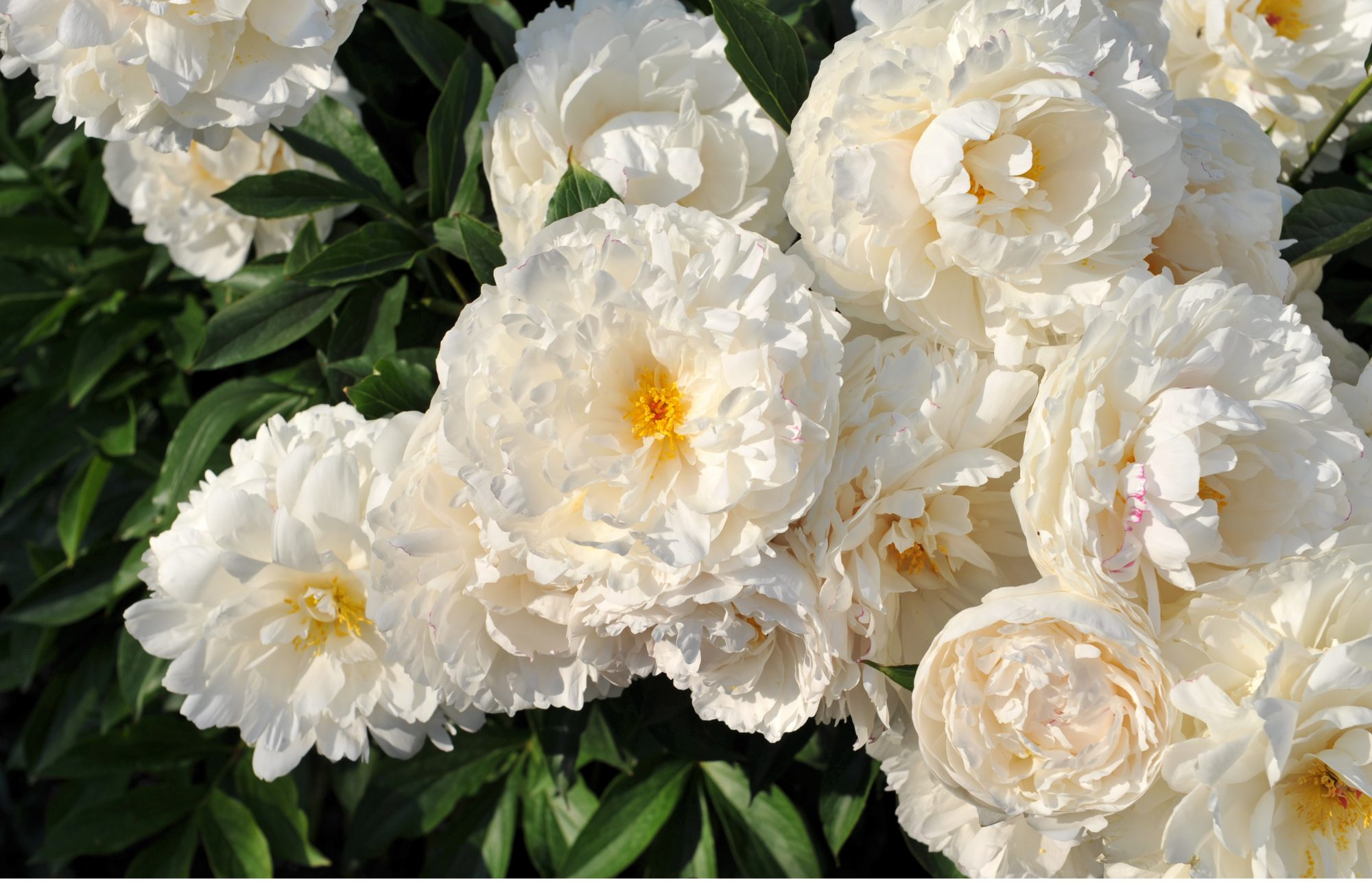 Peonies Last Forever Species to Buy
