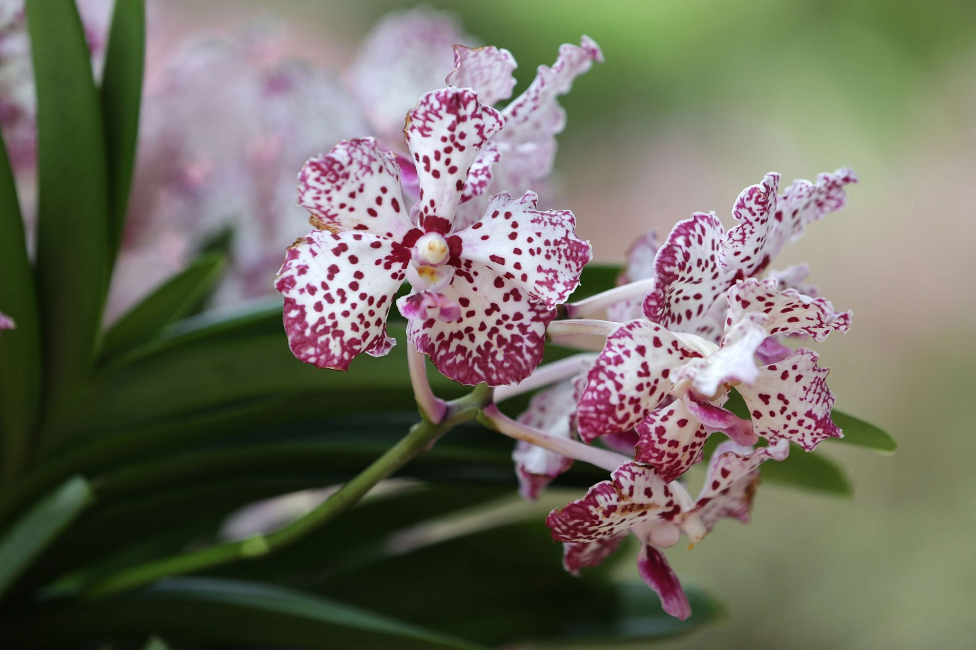 Pink and White Speckled Orchid