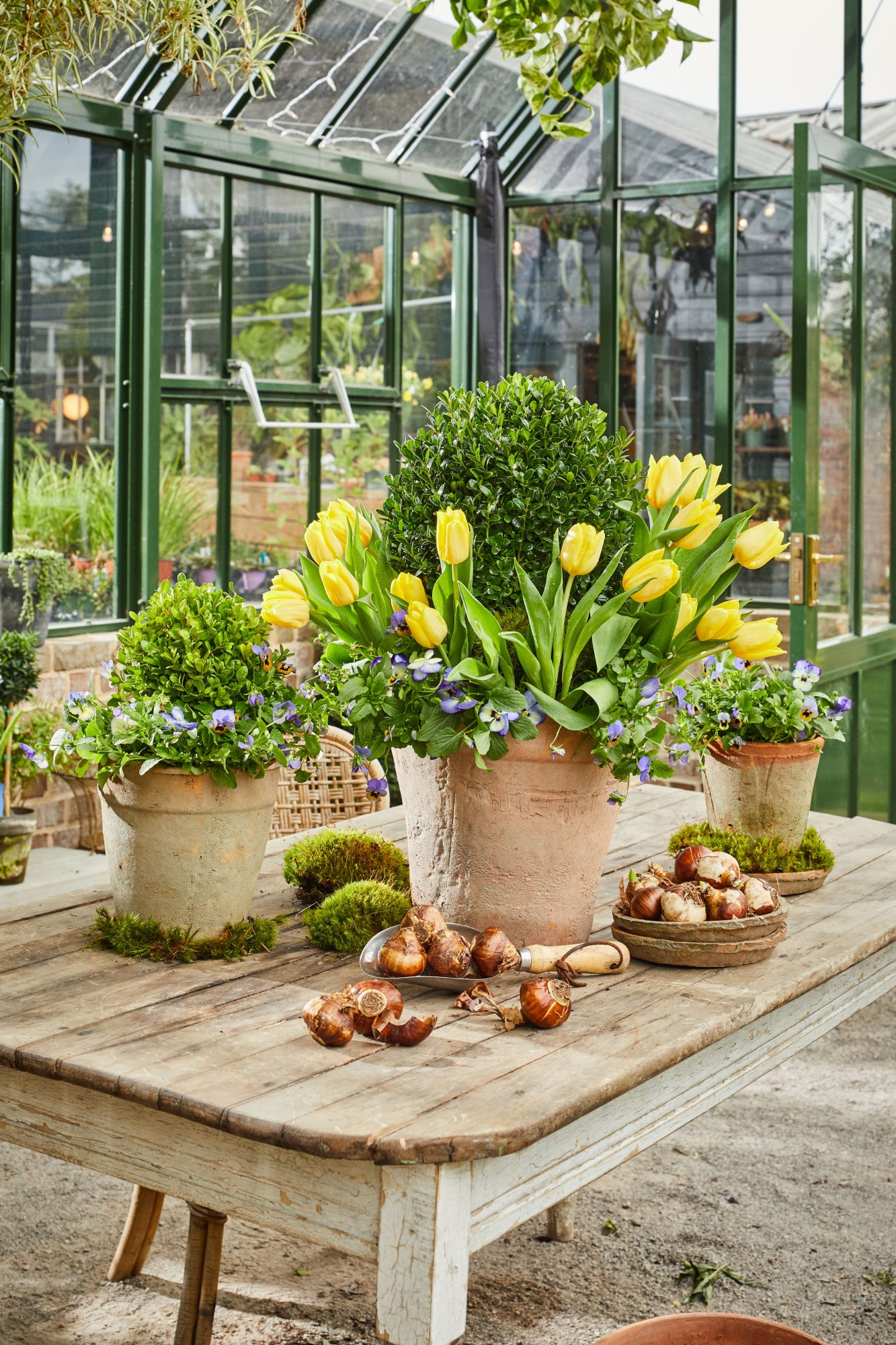Tulip and Boxwood Spring Container Garden