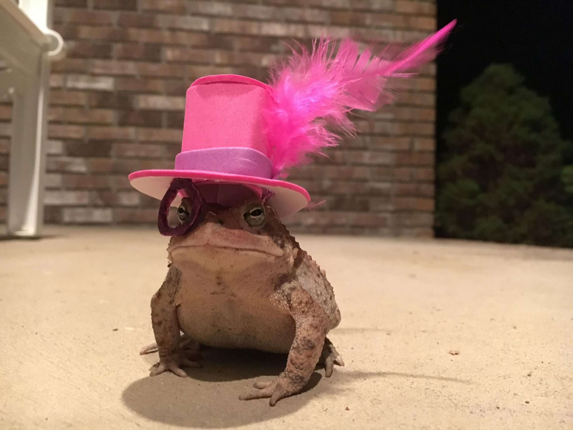 Toads with Hats Top Hat