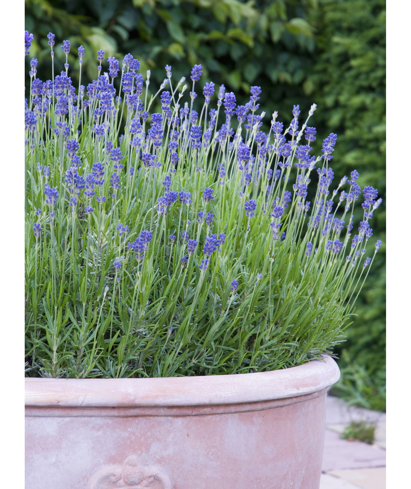 Lavender in container