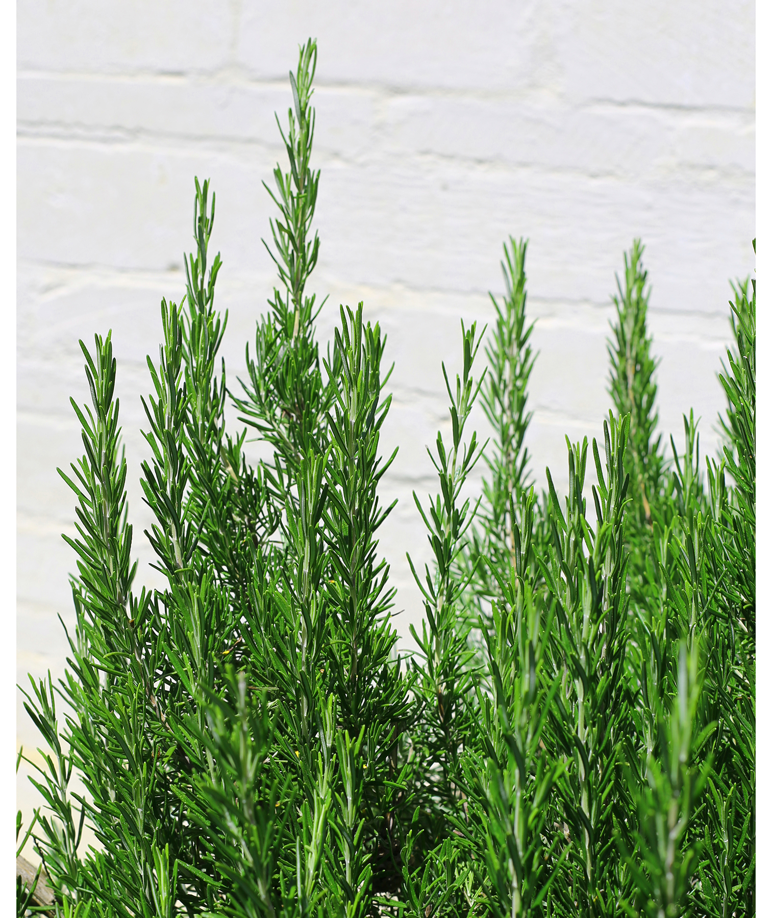 Rosemary growing in the yard