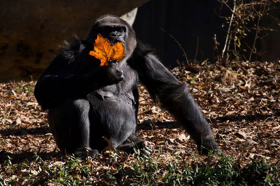 Shamba Gorilla Dies at Zoo Atlanta