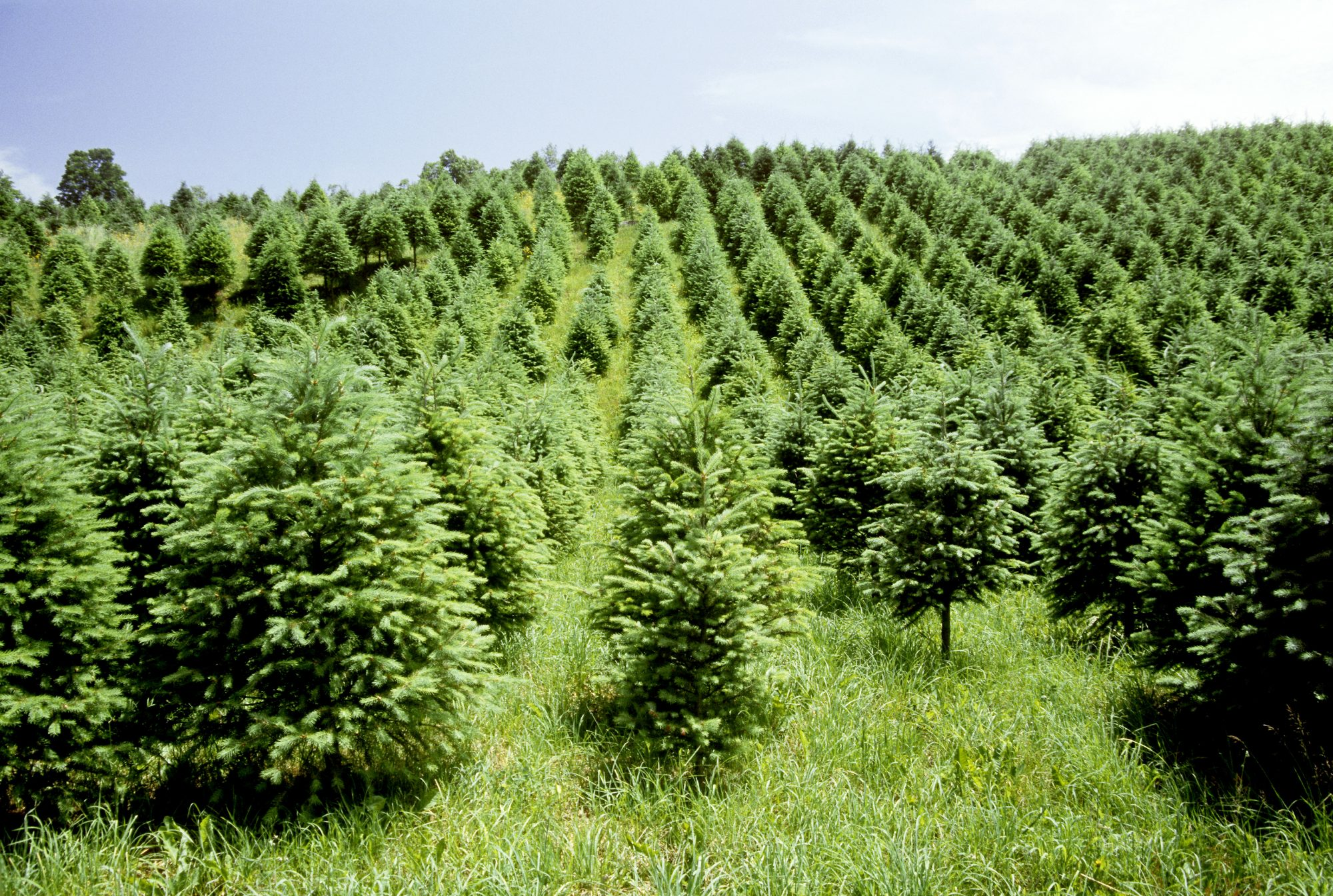 A Christmas tree farm in the Catskill mountains, New York.