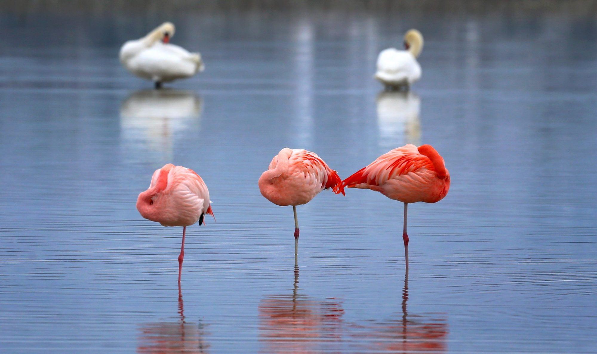 GERMANY-ANIMALS-FLAMINGO
