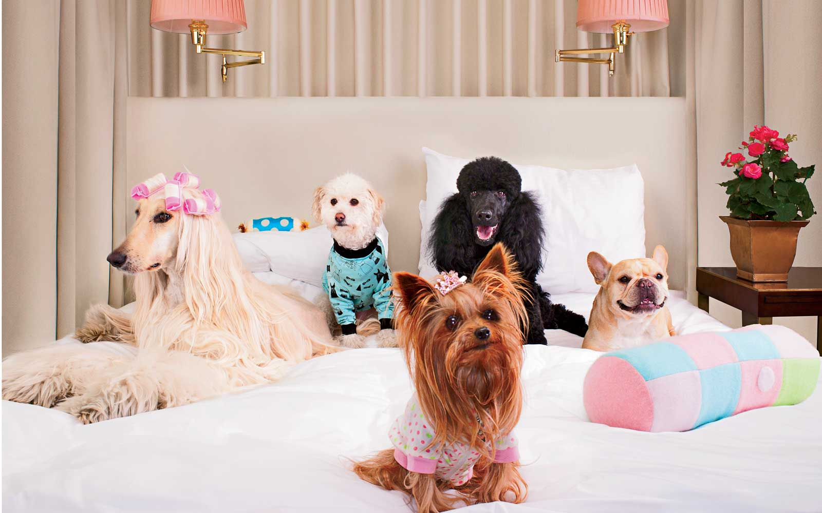 Hilton Canopy Dogs on Bed Hotel
