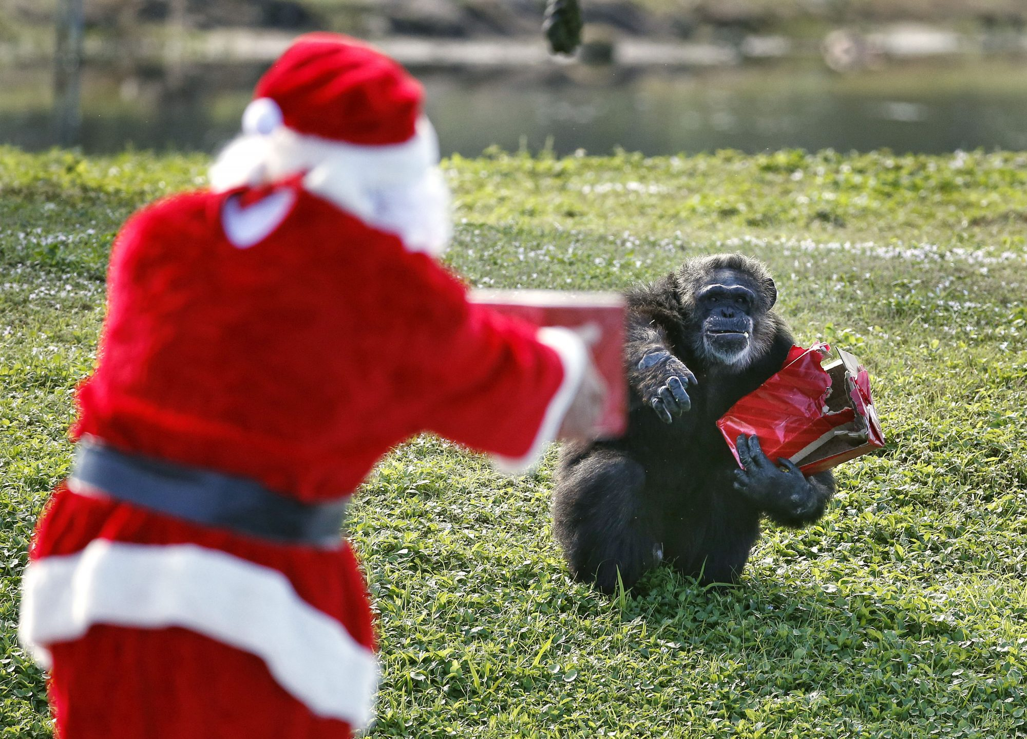 Santa hands gifts to a gorilla