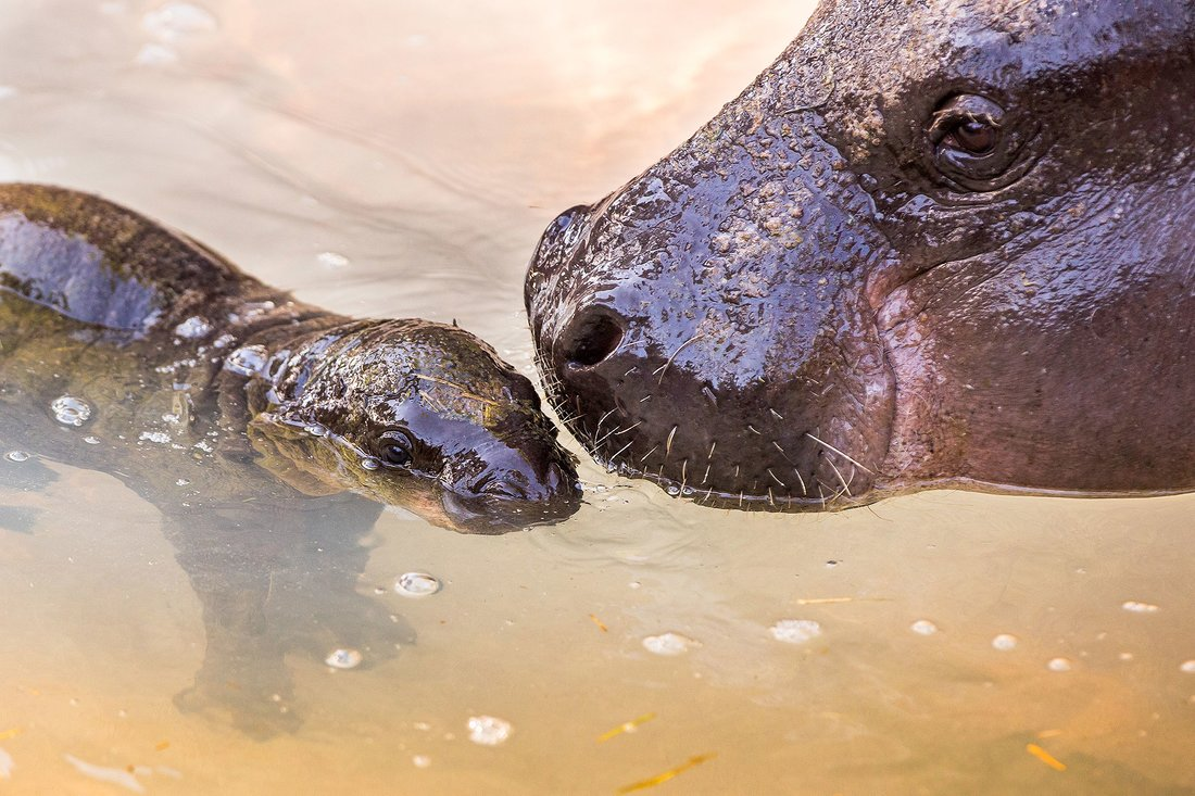 Tampa Baby Hippo