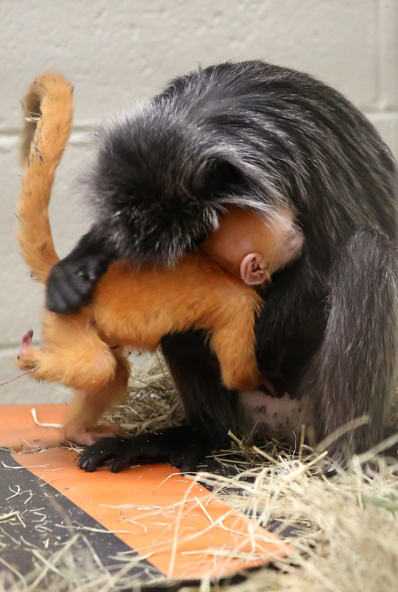Santa Gifts Zoo Knoxville Surprise Monkey Baby For Christmas