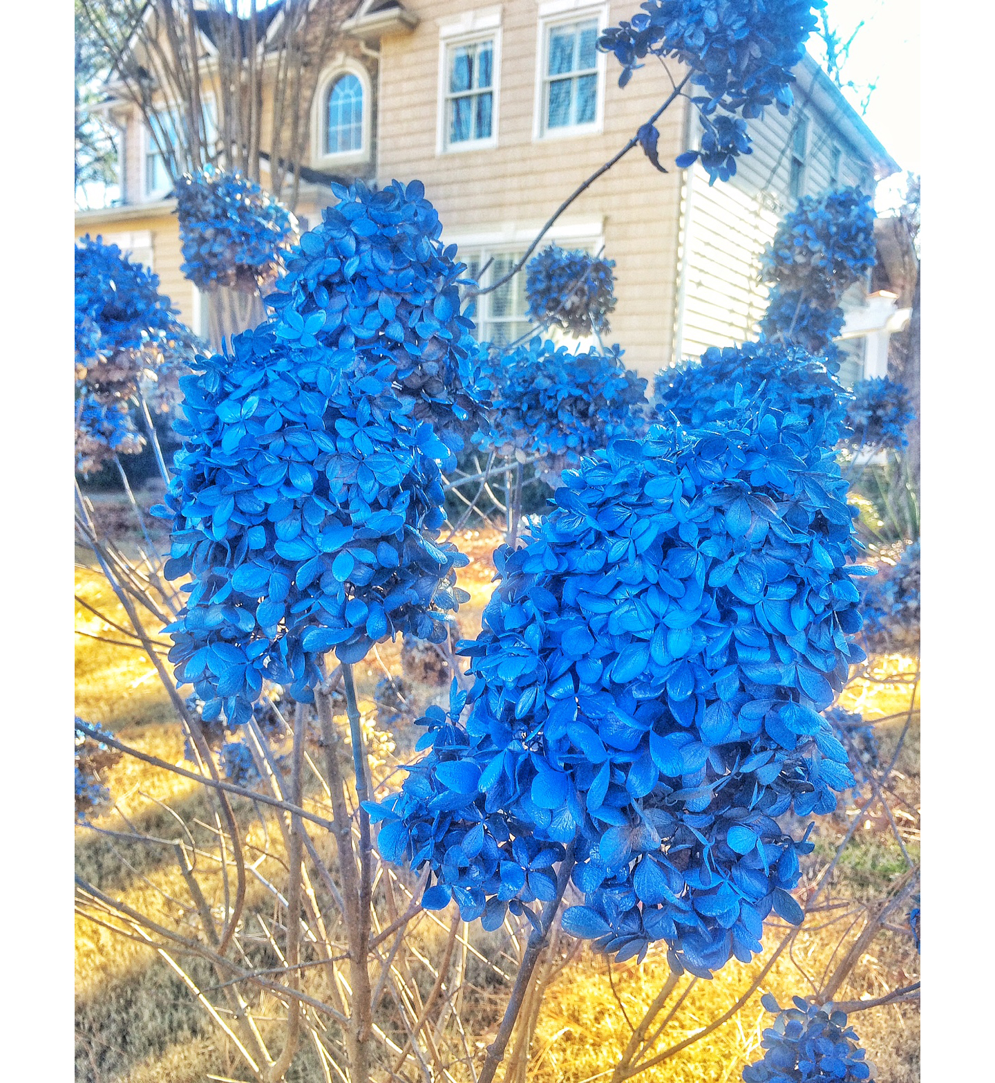 Winter Blue Hydrangea Blooms