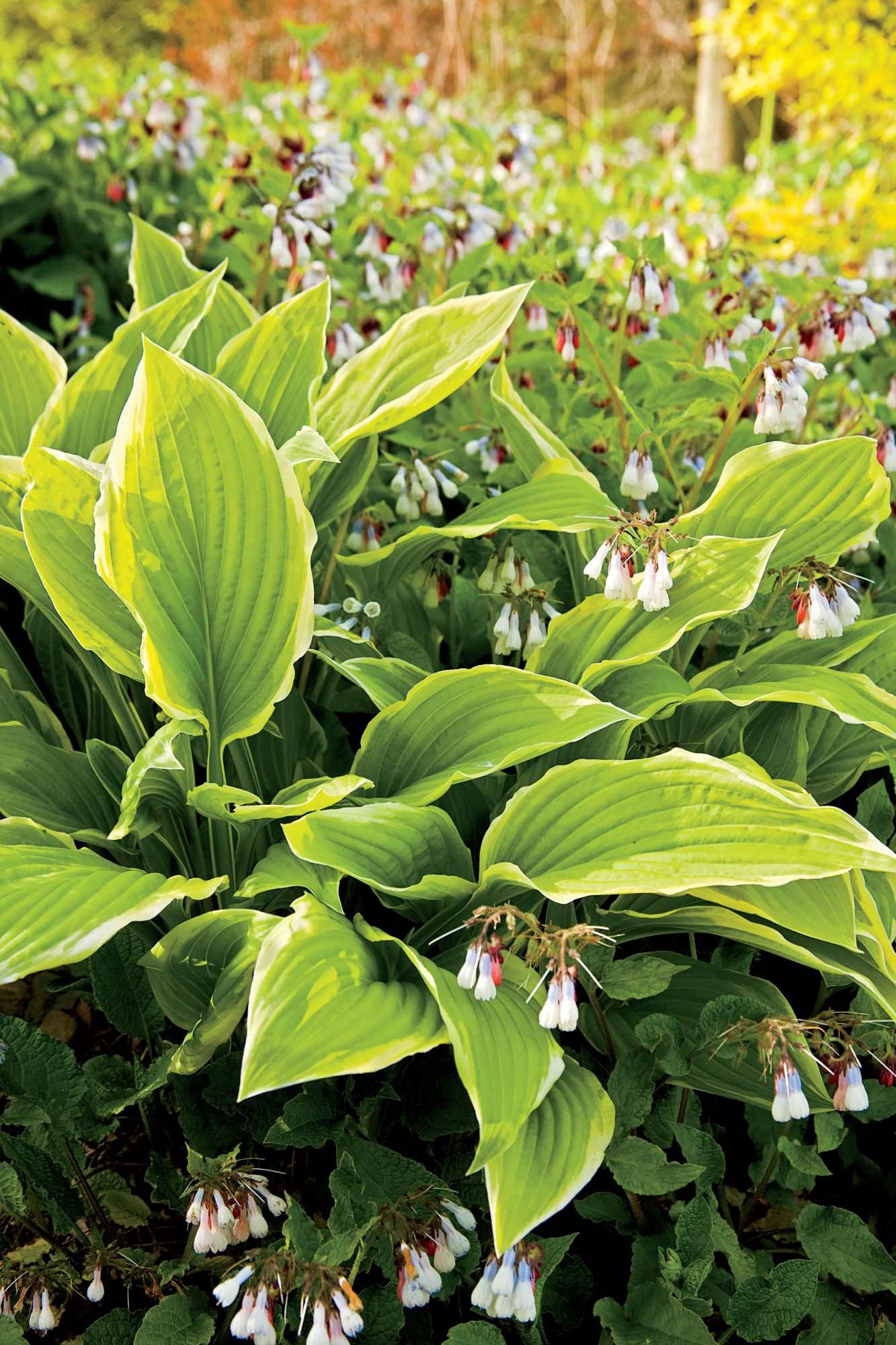 Variegated Hostas and Bright Purple Irises surrounding a small pond