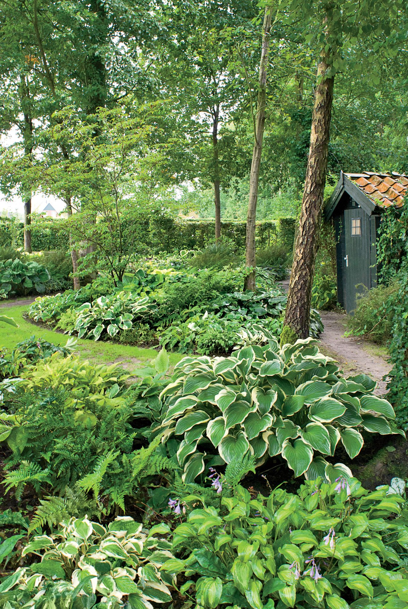 Hostas in Shaded Garden with Shed