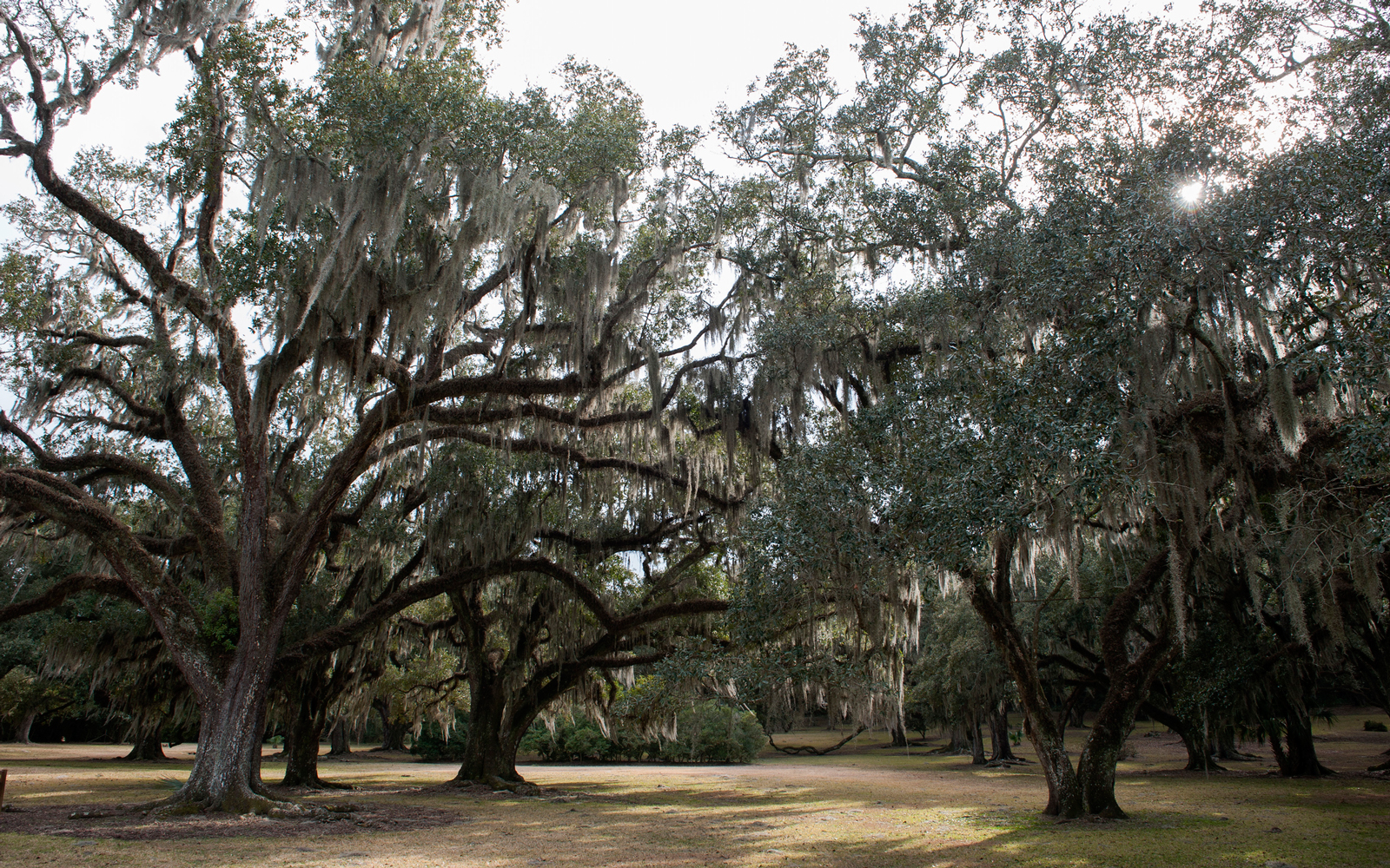 Spanish moss growing on live oak trees, Avery Island, Louisiana