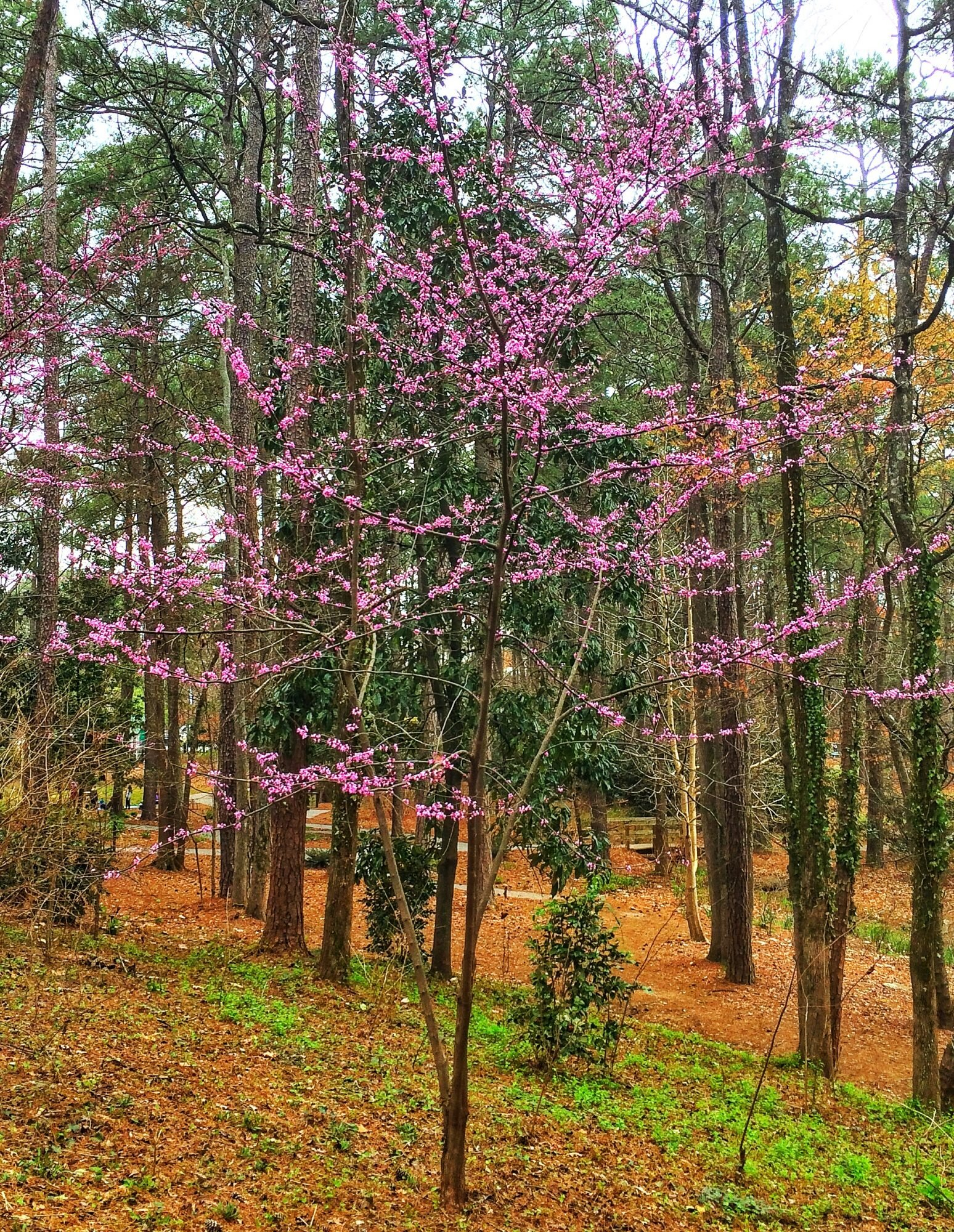 This Redbud Is For You And You And You Southern Living
