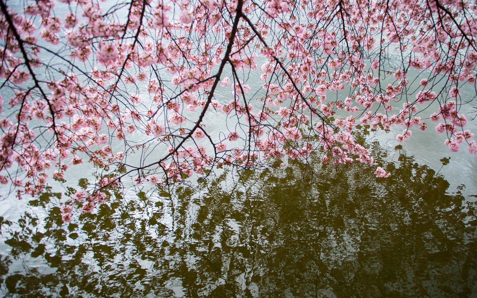 Cherry blossom trees dip into the tidal basin as they stand in full bloom in Washington, DC, on April 4, 2018.