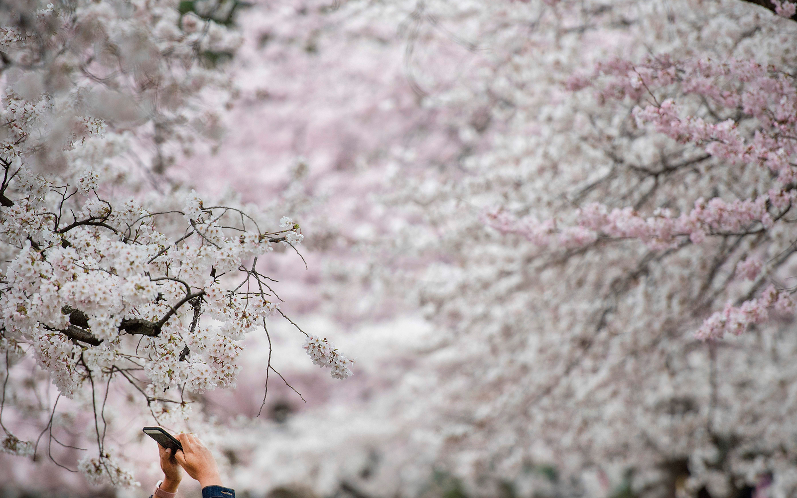 A woman uses her cell phone to take a picture of cherry blossom trees as they stand in full bloom in Washington, DC, on April 4, 2018.
