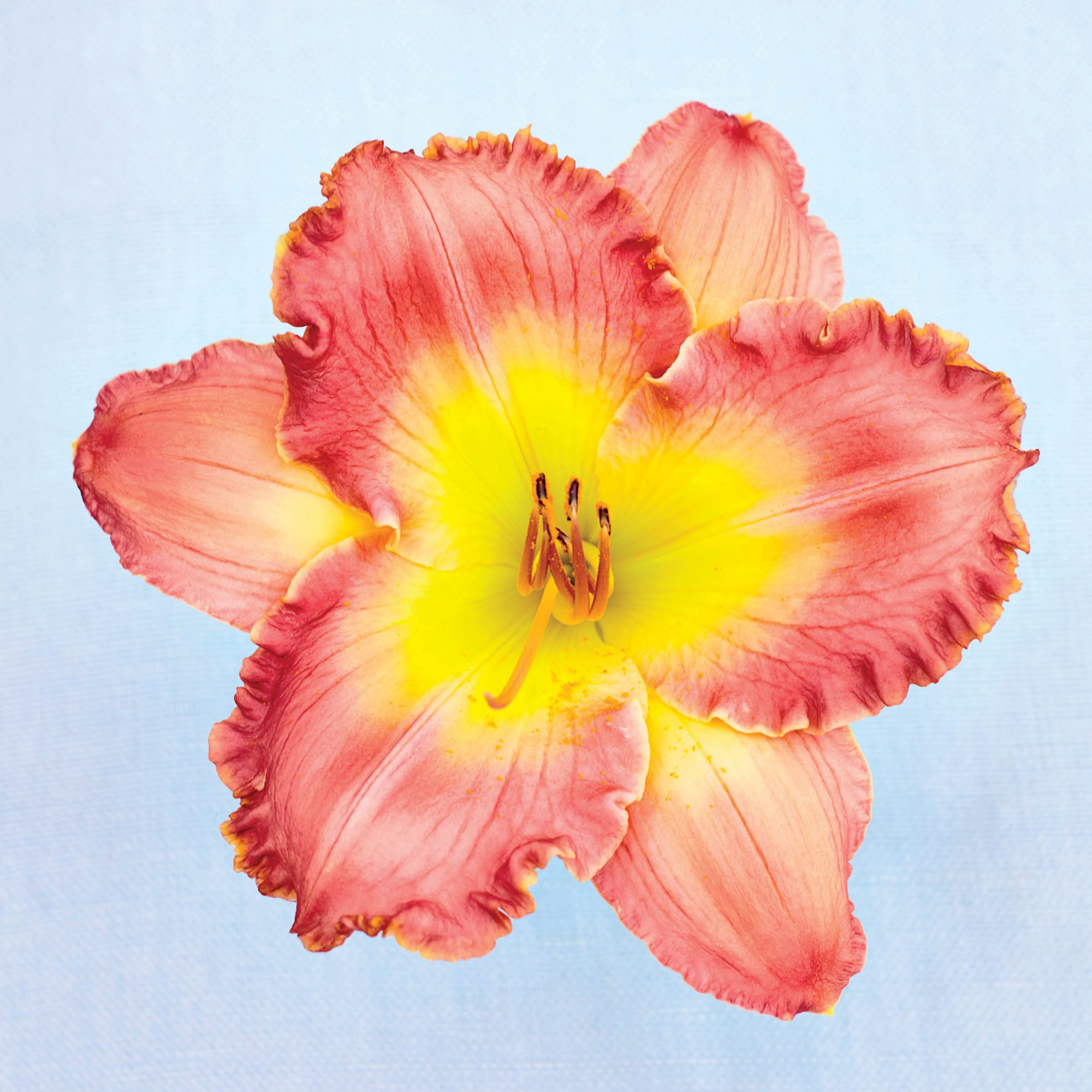 Party Queen Daylily