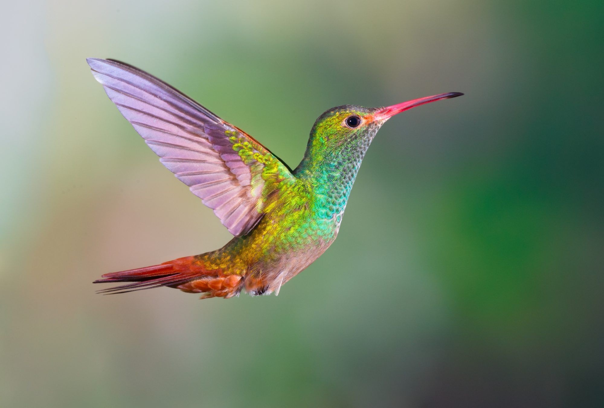 Hummingbird Flying in Air