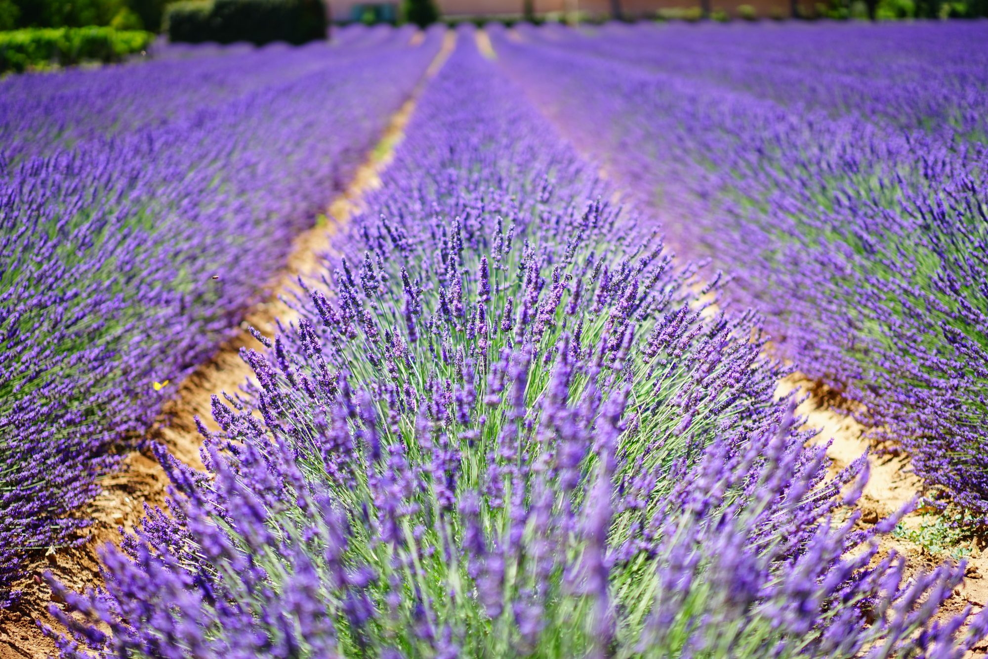 Explore the Lavender Fields of Texas