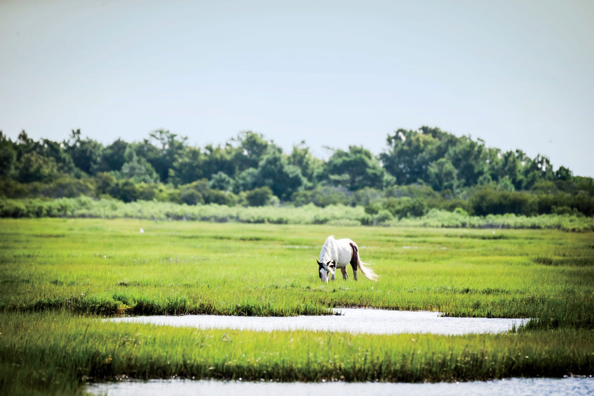 Protected Ponies of Assateague Island
