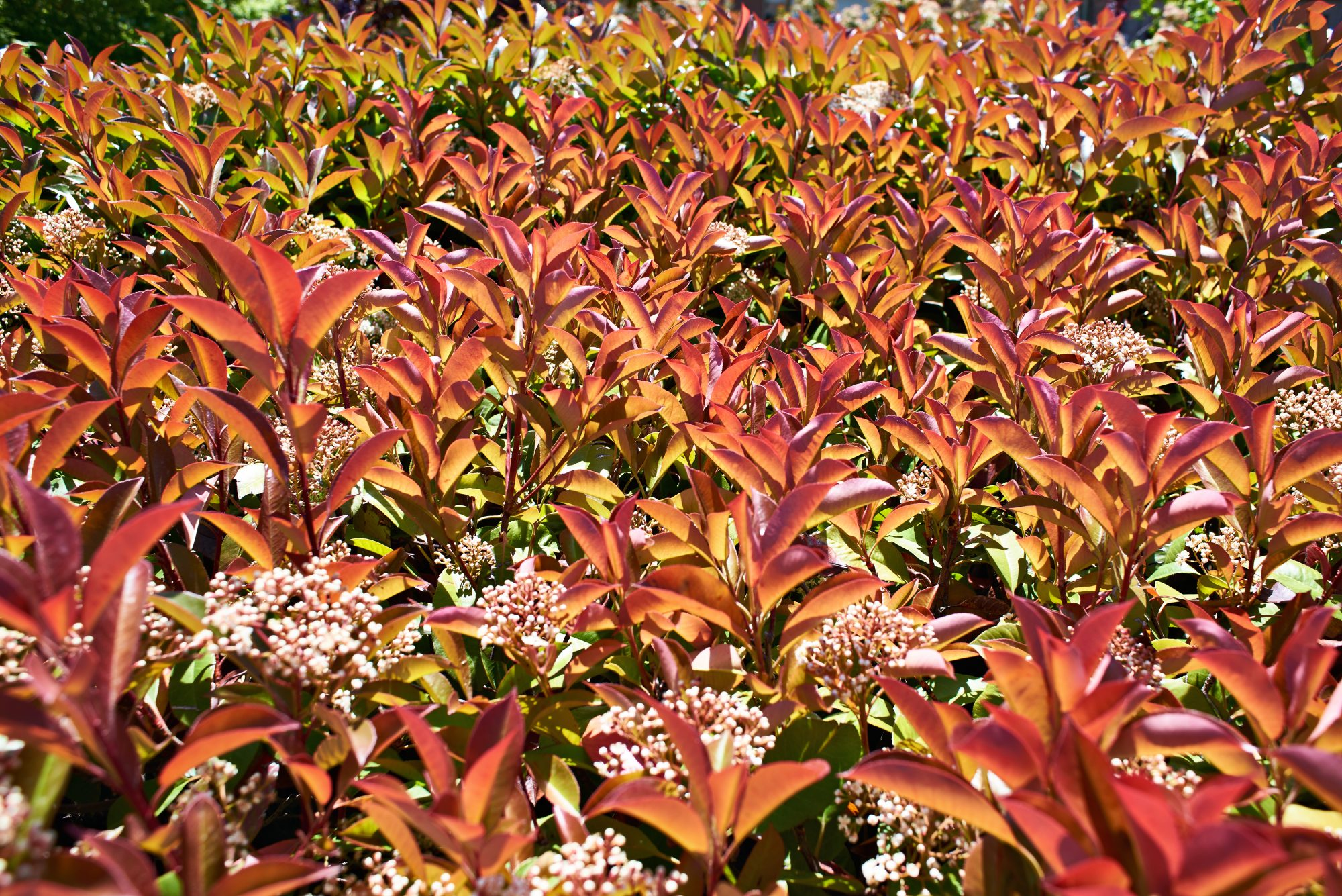 Red Tip Photinia