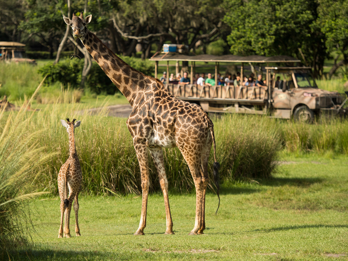 Disney World Has a New Baby Giraffe! Meet Aella giraffe-2