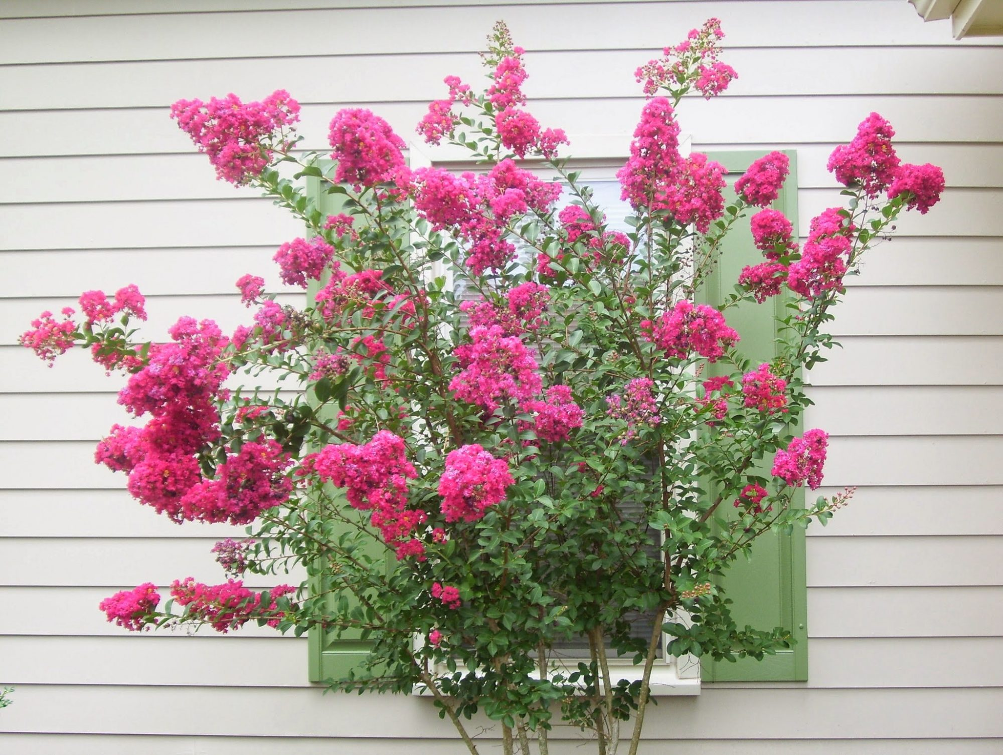 Crepe Myrtle Tree in Front of Window