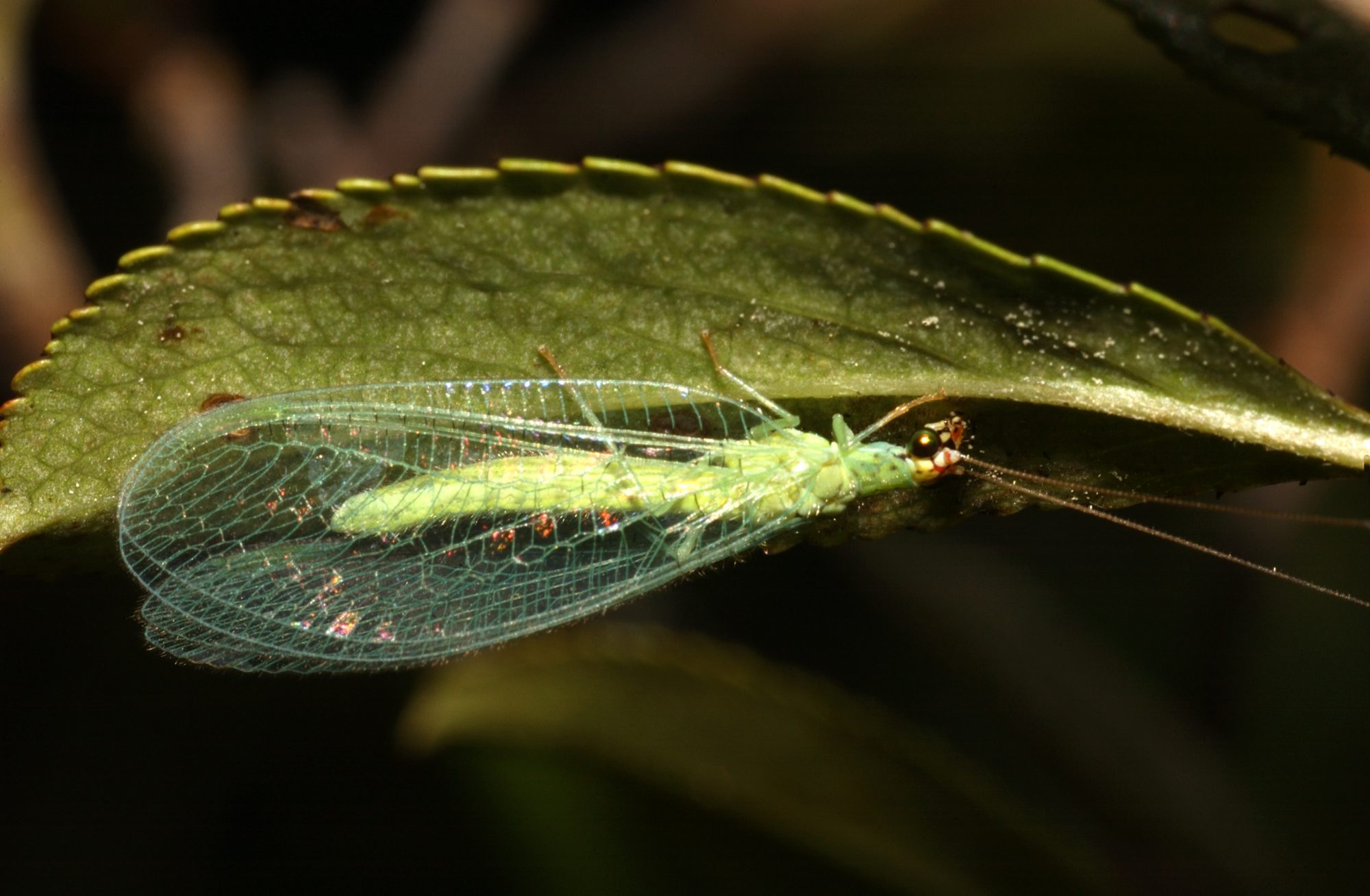Lacewing