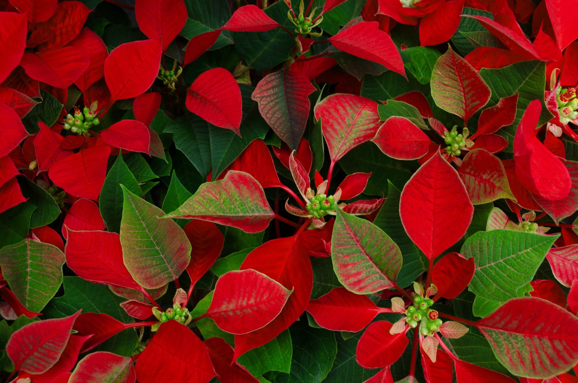 17 Best Christmas Plants Winter Plants And Flowers For The