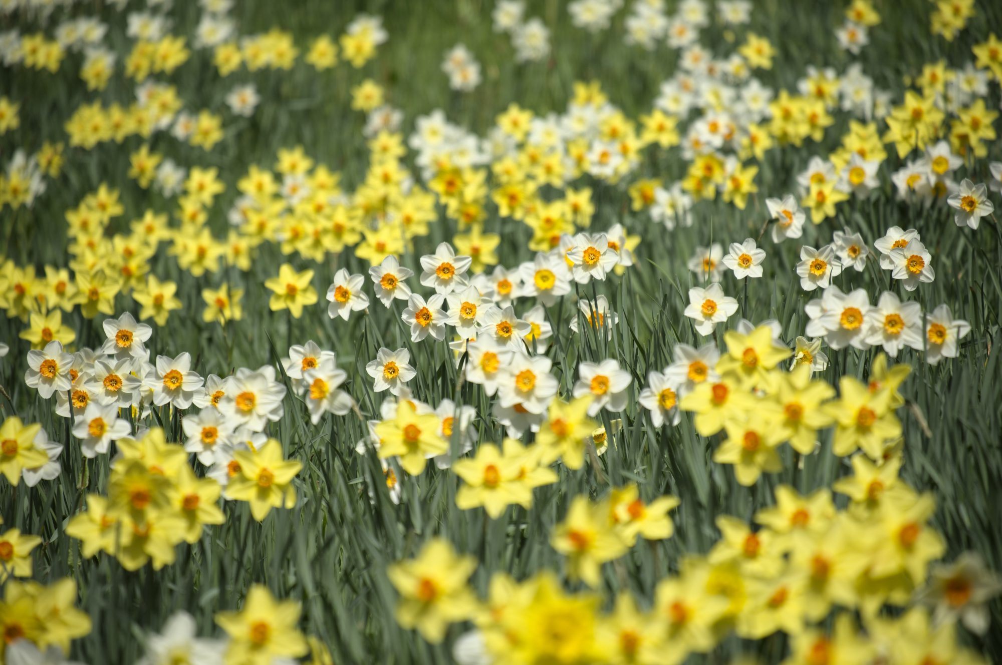 Narcissus Field of Daffodils