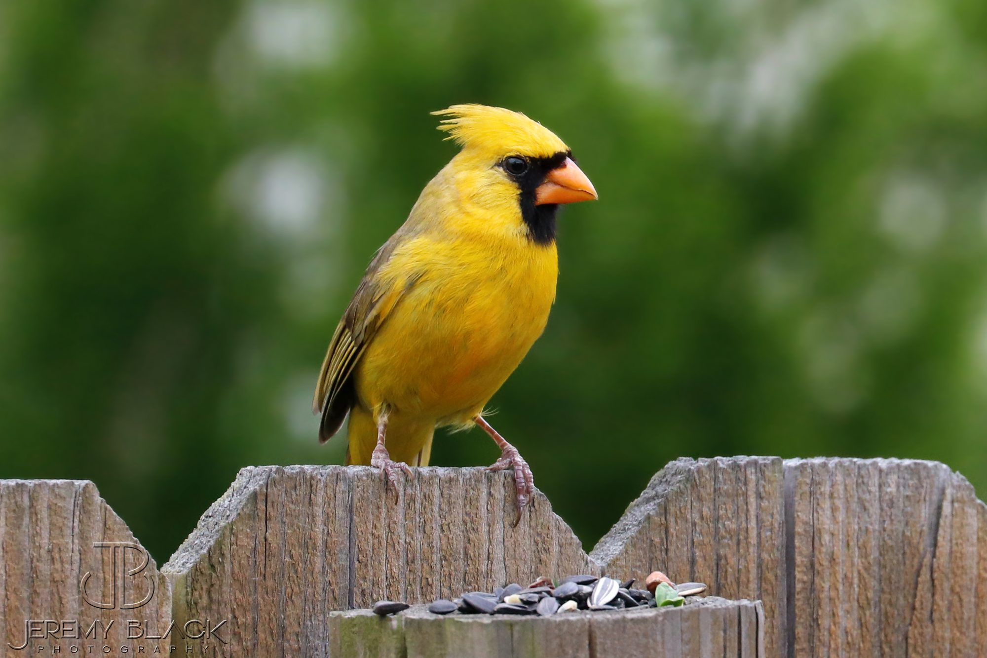 Yellow Cardinal is a Father
