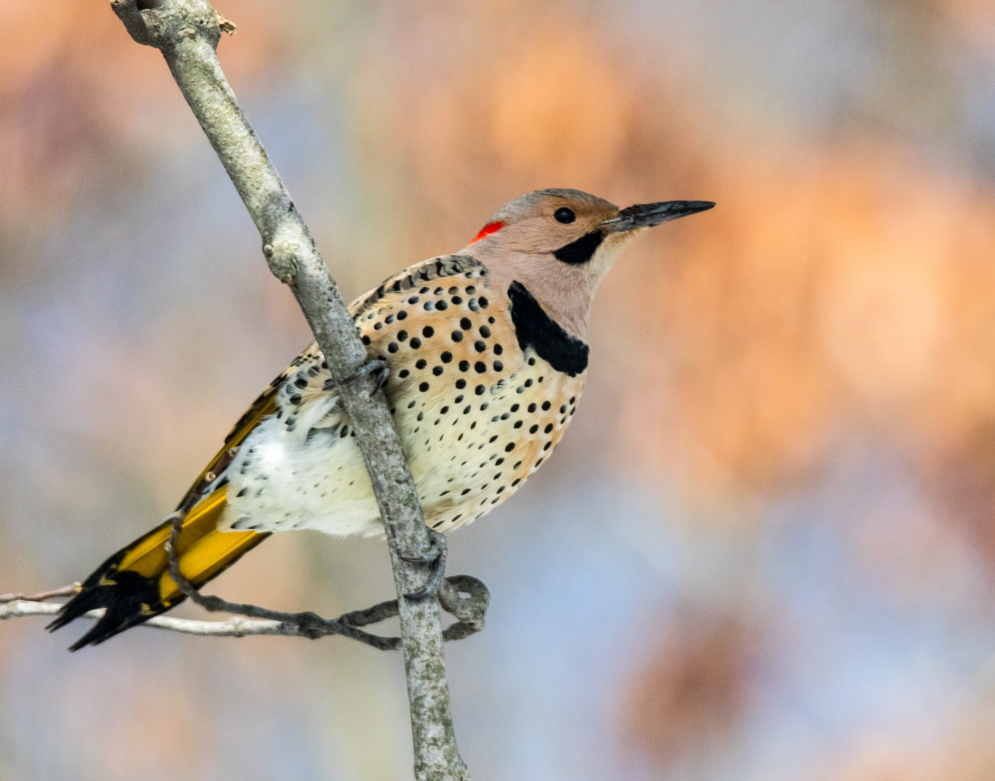 Alabama- Northern Flicker