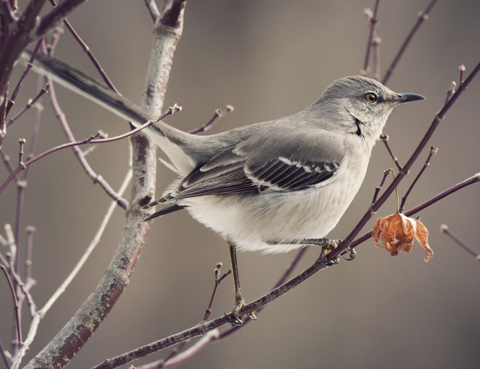 Arkansas- Northern Mockingbird