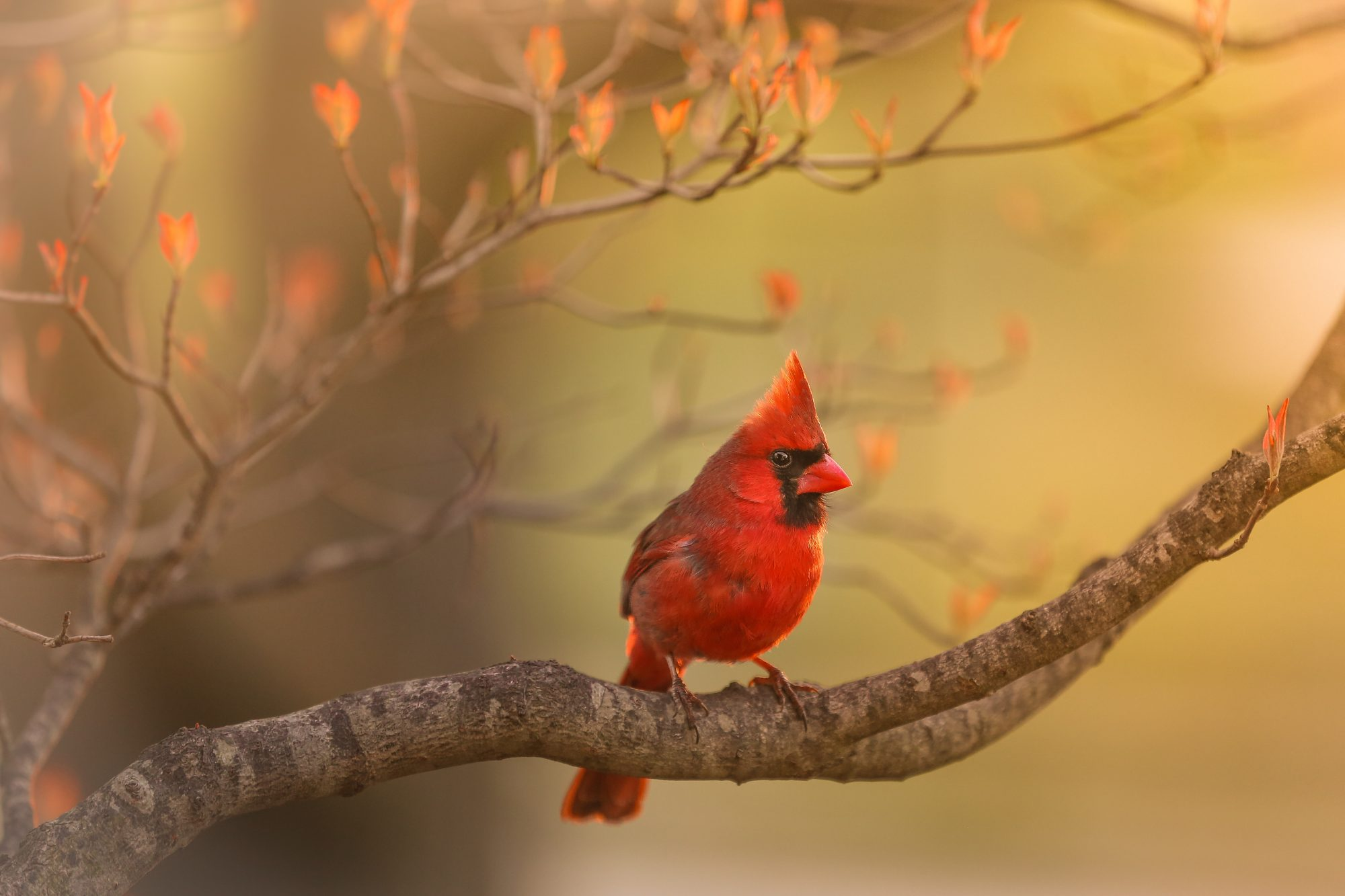 Kentucky- Northern Cardinal