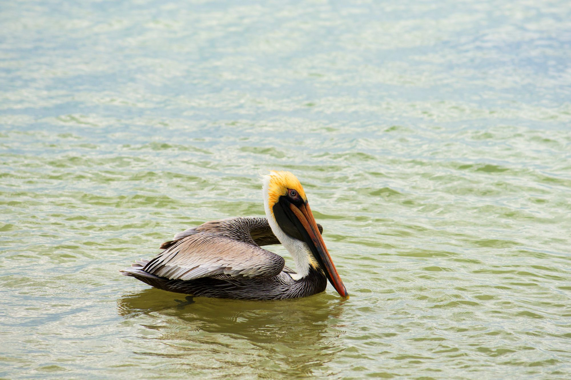 Louisiana- Eastern Brown Pelican