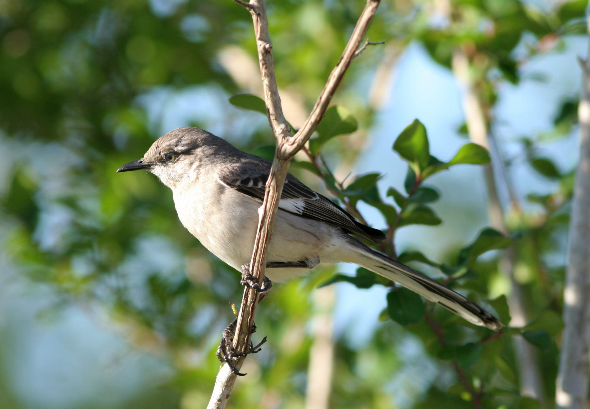 Mississippi- Northern Mockingbird