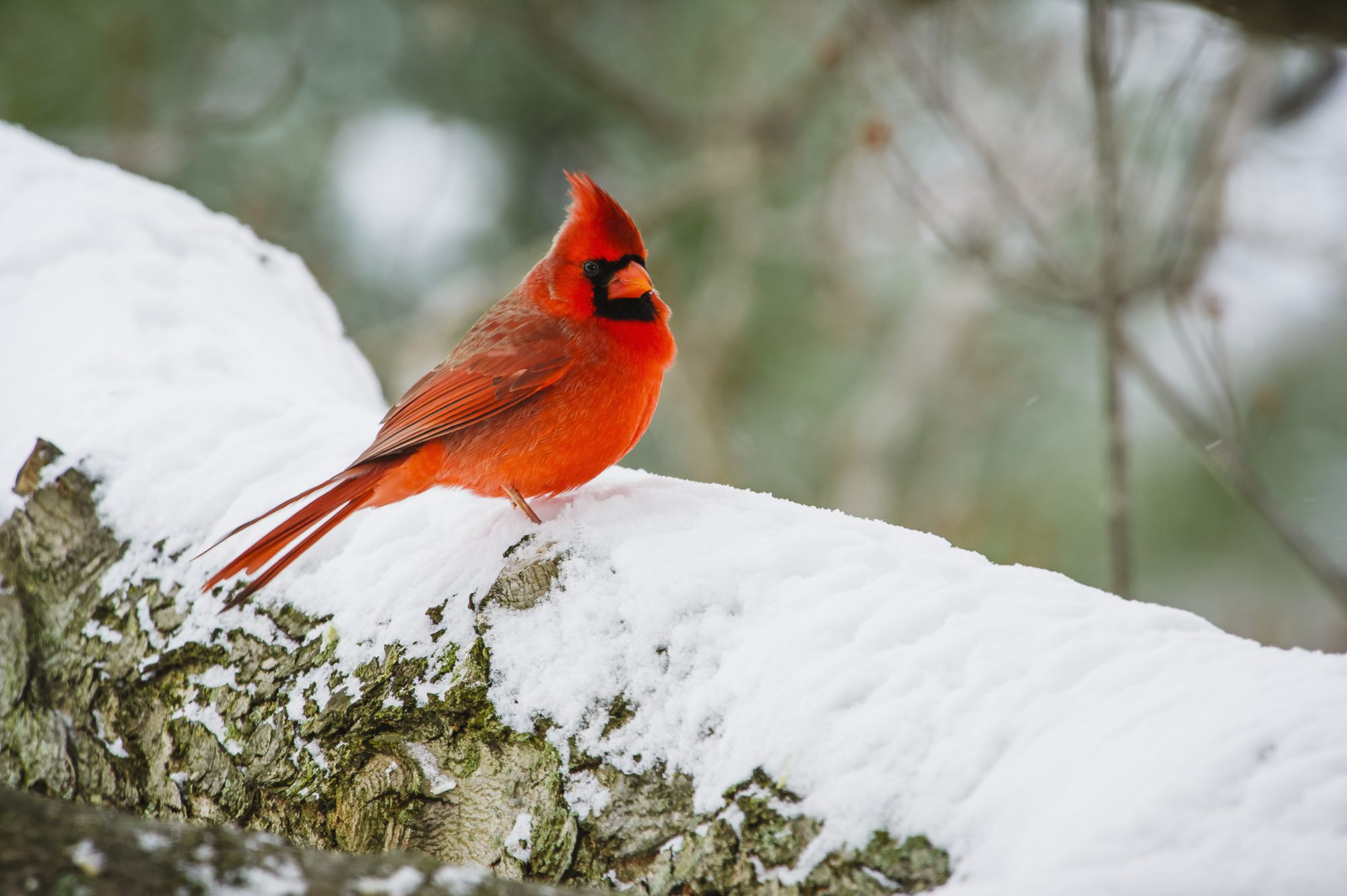 North Carolina- Northern Cardinal