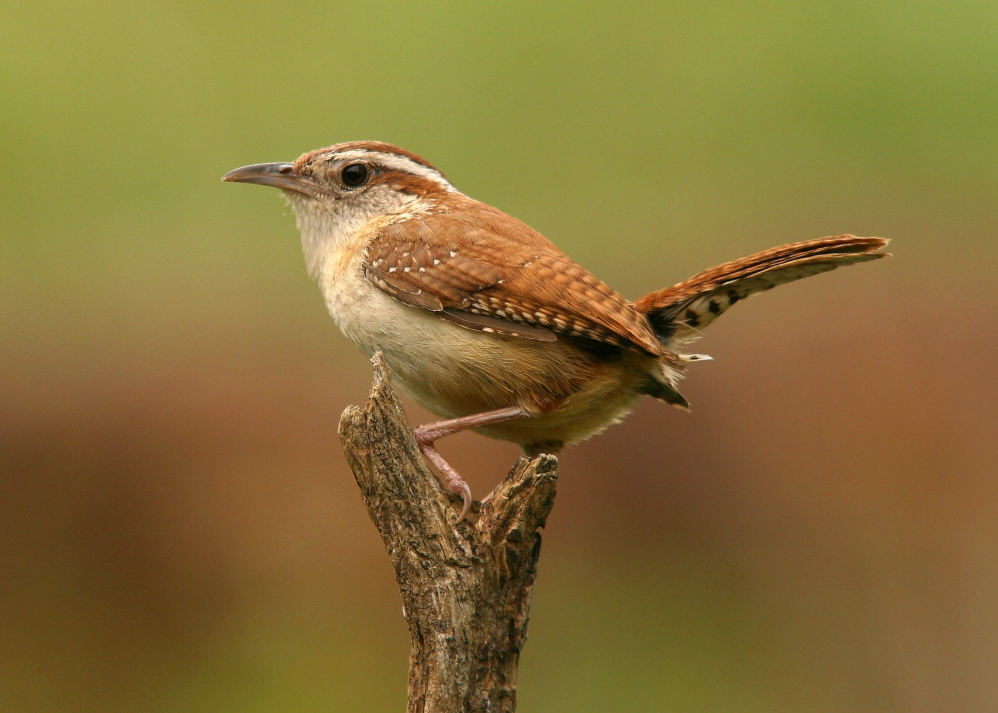 South Carolina- Carolina Wren