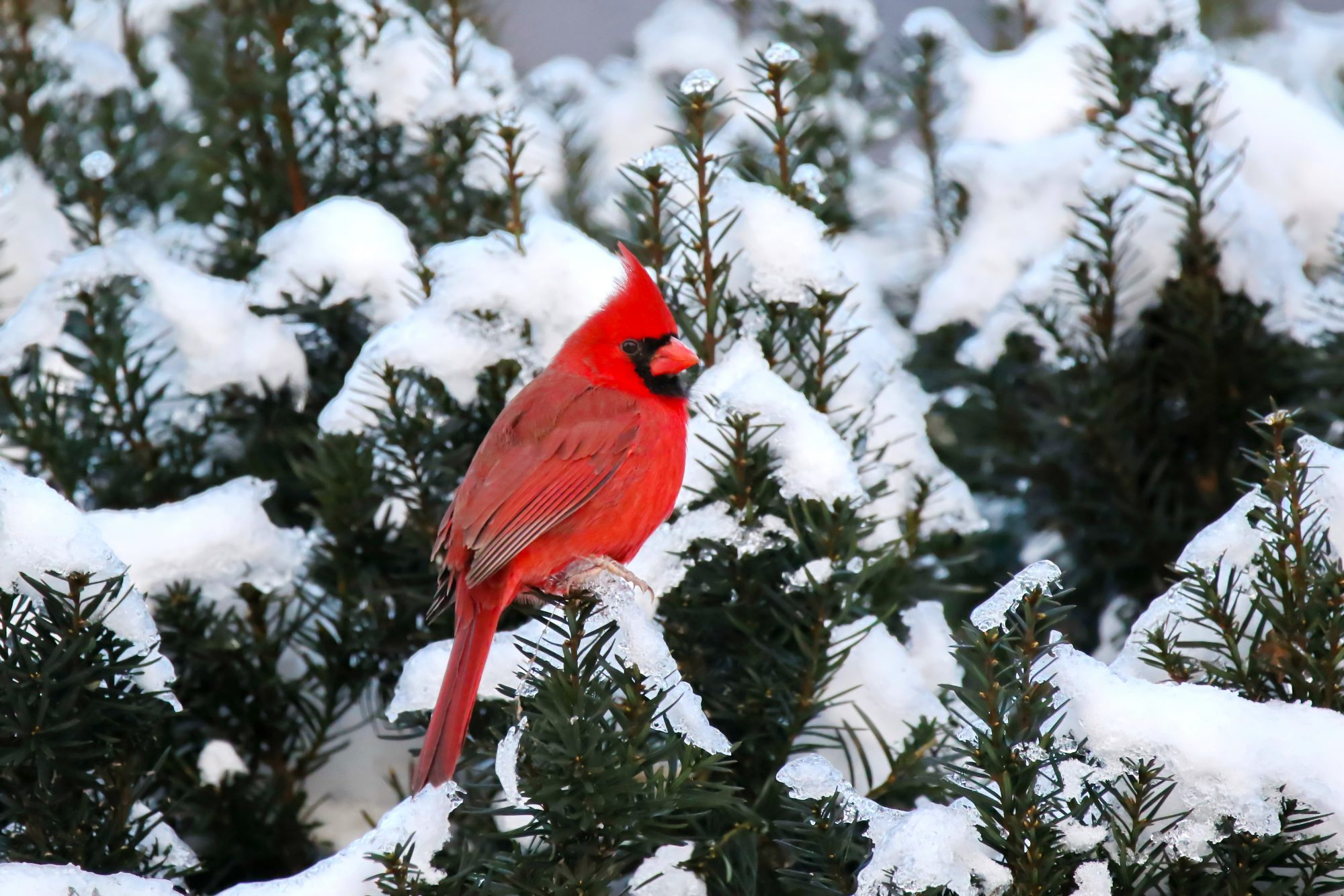 West Virginia- Northern Cardinal