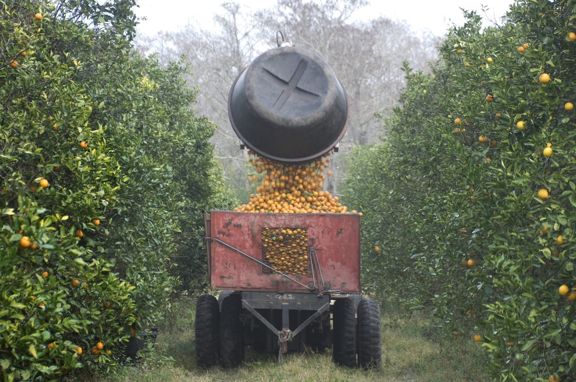 Florida Citrus Season