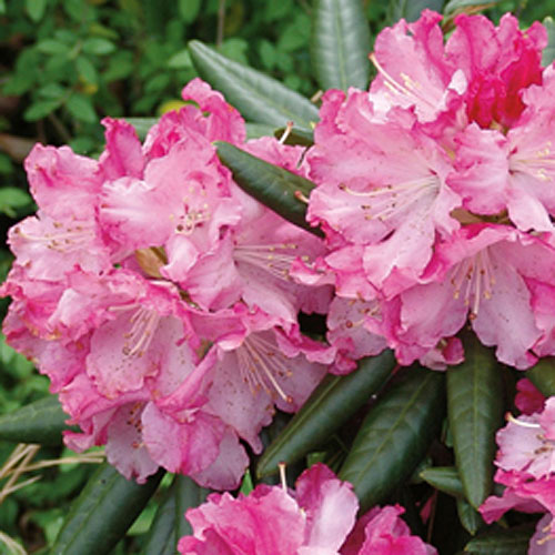 New Rhododendrons for the South
