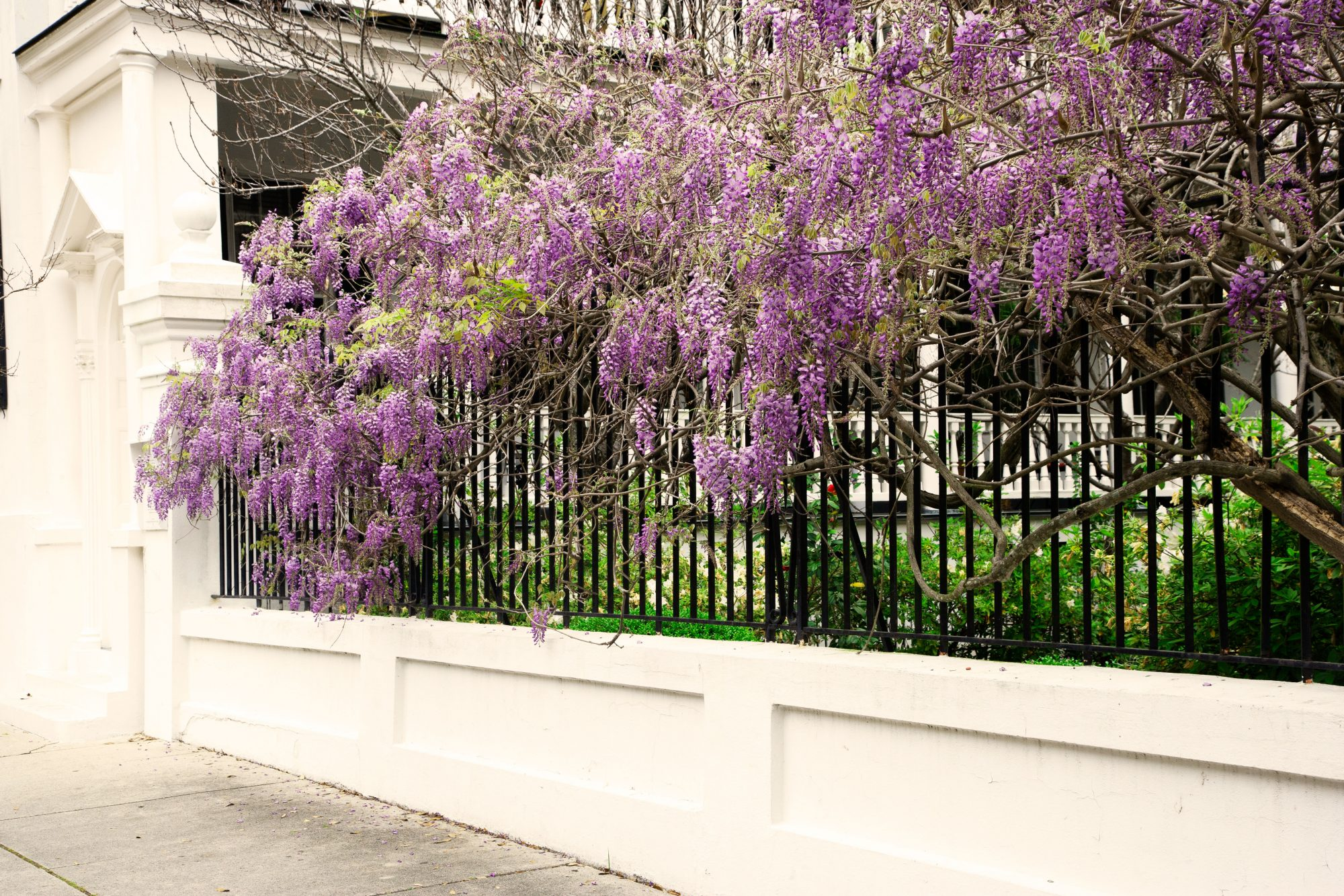 Wisteria in Charleston