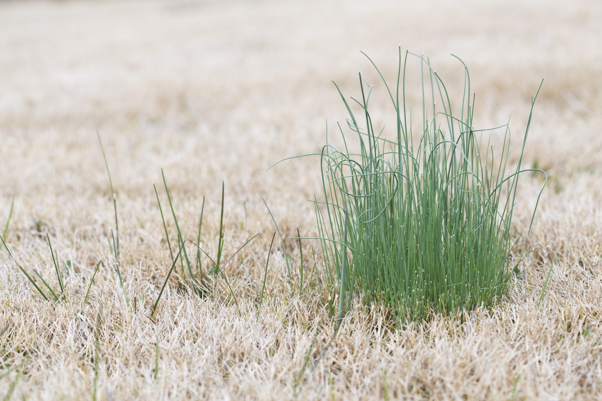 Wild Onion Growing in Dormant Lawn Grass