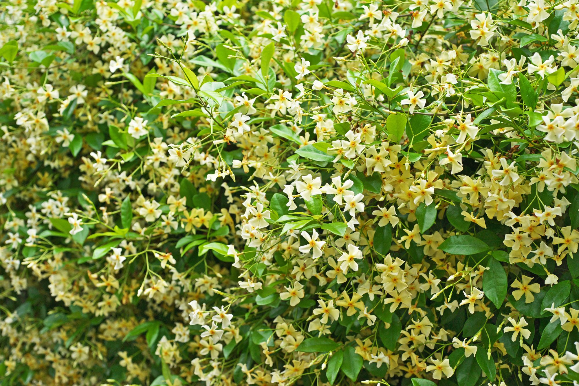 Asian star jasmine (Trachelospermum asiaticum)