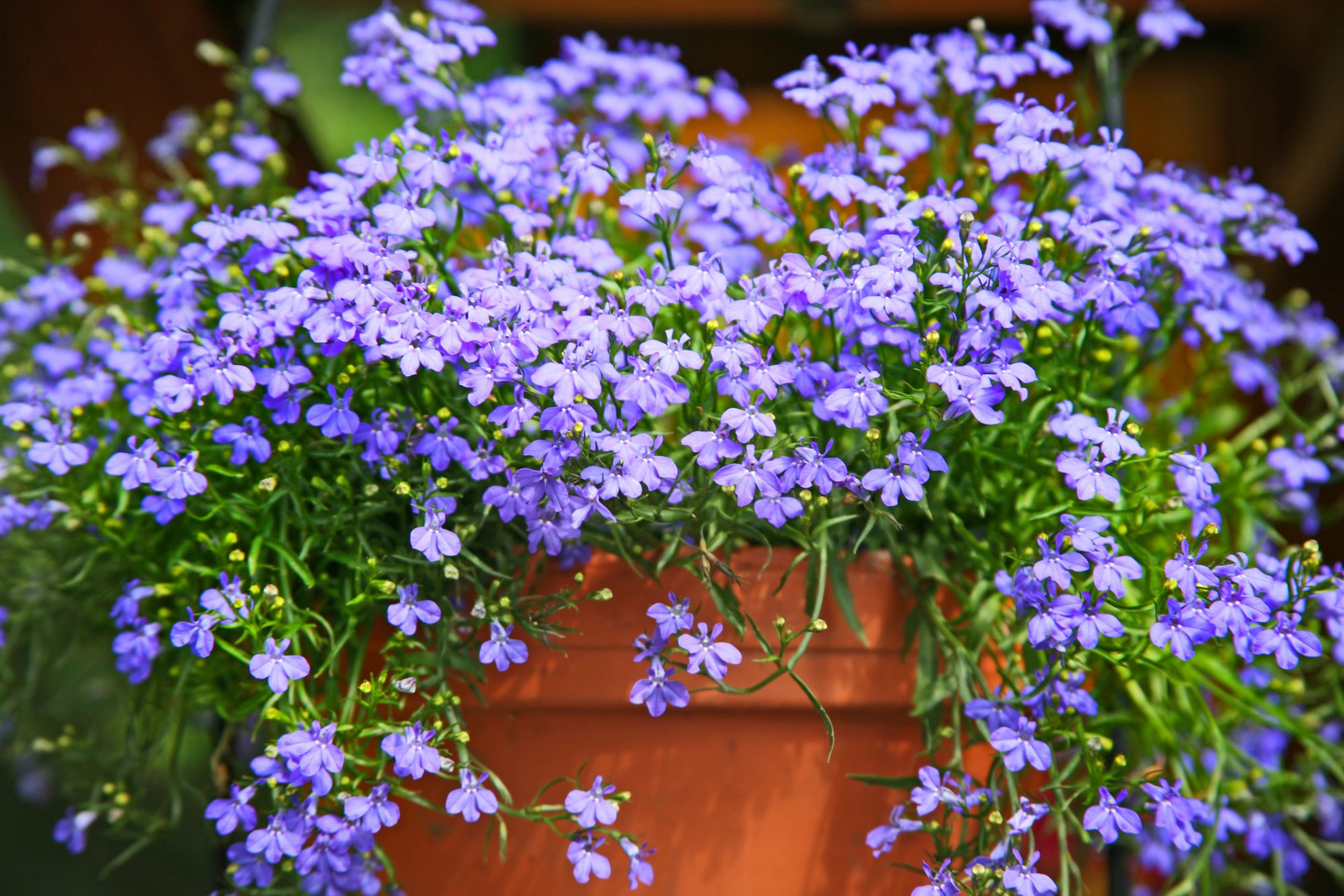 'Cambridge Blue' Lobelia